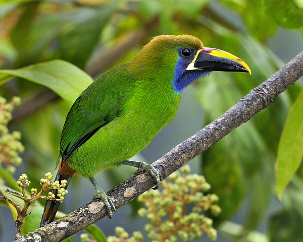 Emerald Toucanet Tony Beck